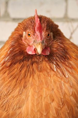 grippe: Red-haired chicken