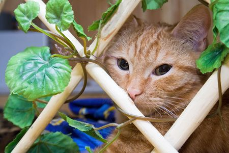 sweetly: Redhead cat for lattice