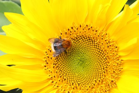 Sunflower and bumble-bee. Close up sunflower. photo