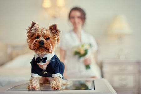 Terrier dressed as a groom in the bedroom of the bride.