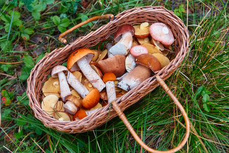 Basket with freshly picked forest mushrooms, stands on the grass