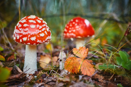 Amanita Muscaria, poisonous mushroom. Photo has been taken in the natural forest background Фото со стока