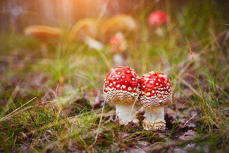 Amanita Muscaria, poisonous mushroom. Photo has been taken in the natural forest background. Banco de Imagens