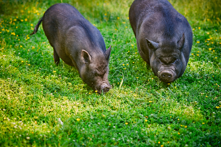 Vietnamese big-bellied black pigs. Are grazed on a farm on a clear green meadow with a fresh grass and flowers. Фото со стока