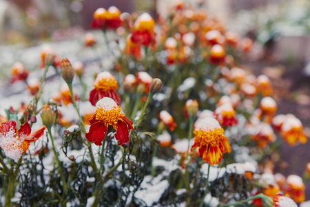 The first snow covered autumn flowers. Petals freeze and die from low temperatures. The concept of the coming winter and cold, farewell to the summer. Standard-Bild