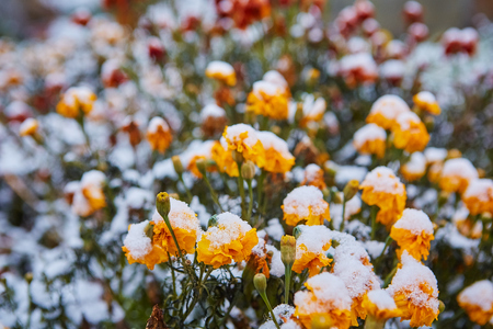 The first snow fell on orange and yellow flowers. Flowers freeze and die from the first frost