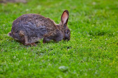 very old rabbit eating grass. Banque d'images - 128403234