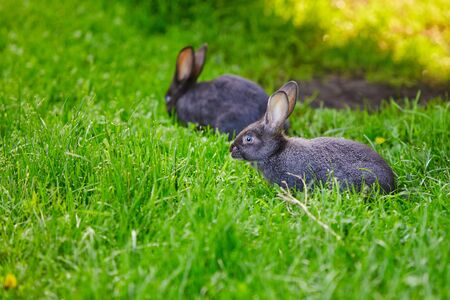 Two rabbits grazing on the grass.