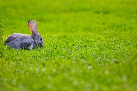 Cottontail bunny rabbit sits on the grass. Place for text.