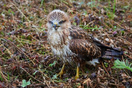 Close-up portrait of a bird of prey in its natural habitat