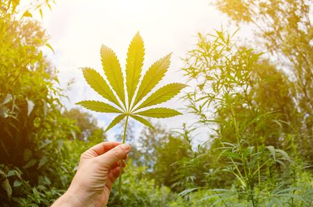 Cannabis marijuana green leaf in hand on cannabis blur leaves background. Imagens