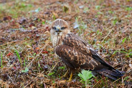 Close-up portrait of a bird of prey nestling in its natural habitat - in the wild, sitting in a meadow.