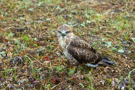 close-up portrait of a bird of prey nestling in its natural habitat, camouflage protective coloring of the bird merges with the background and makes the bird invisible Zdjęcie Seryjne
