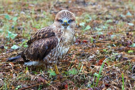 Close-up portrait of a bird of prey in its natural habitat. Stock Photo