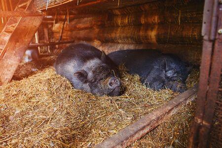 Two big black Vietnamese pigs sleeping on straw in an open barn. Stock Photo