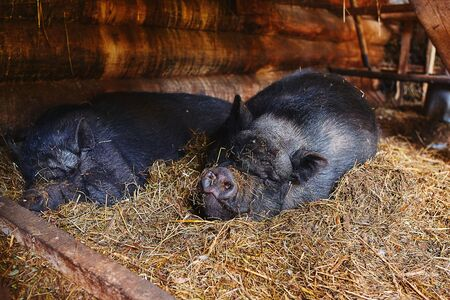 Portrait of a Vietnamese pig sleeping peacefully on a pile of straw. Stock Photo