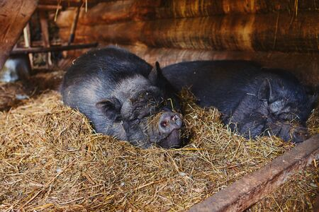 Portrait of a Vietnamese pig sleeping peacefully on a pile of straw. Imagens