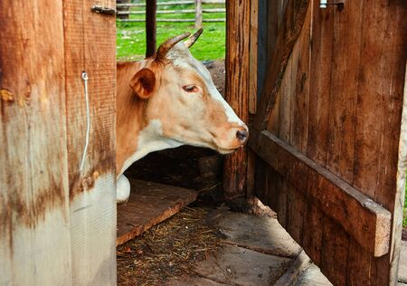 Portrait of a cow white-brown suit, lies in the barn of the village farm with an open door to the corral. She stepped into the shade from the heat. Stok Fotoğraf