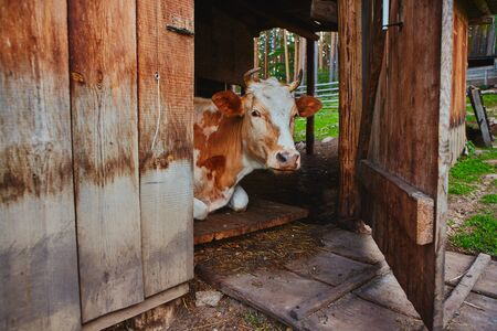 Portrait of a cow white-brown suit, lies in the barn of the village farm with an open door to the corral. She stepped into the shade from the heat. 写真素材