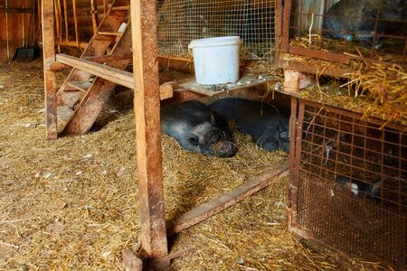 Two big black Vietnamese pigs sleeping on straw in an open barn. Imagens