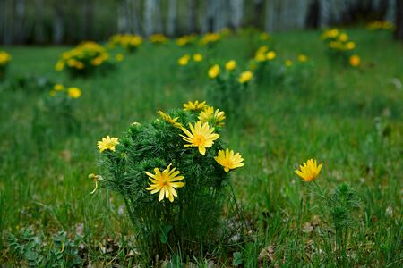Wild spring bright yellow flower Adonis vernalis in the glades of the birch forest.