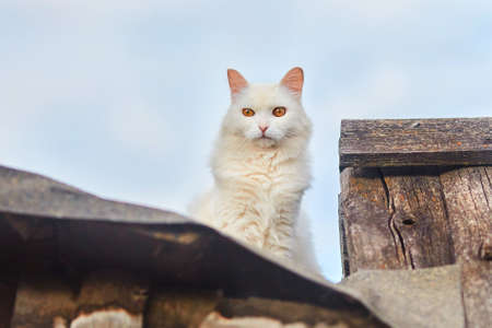 A white cat with orange eyes sits on an old wooden fence. 版權商用圖片