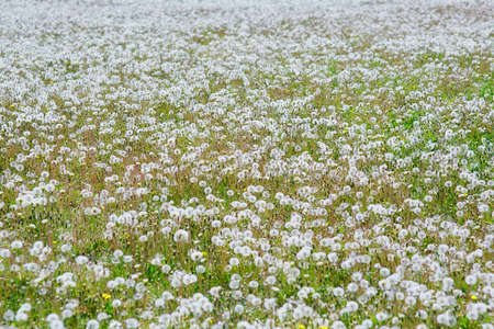 Large field Of dandelion field. Natural grass of fluffy spring dandelions - Taraxacum officinale. Concept of world environment day.