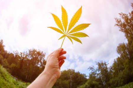 Cannabis leaves hemp stem outdoors against a blue sky background.