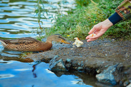 Human feeds a wild duck white bread. The concept of love and respect for nature and animals. 免版税图像