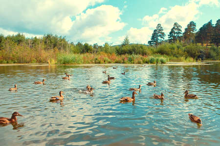 There are many wild ducks swimming in the natural reservoir
