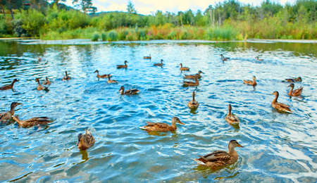 There is a large flock of wild ducks swimming in the swamp. Object of seasonal hunting for waterfowl