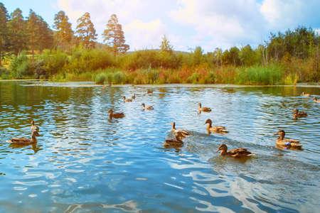Many wild ducks swim in the natural reservoir. wild birds flock together in autumn. Park with wild ducks in autumn