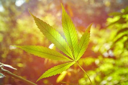 Stem of wild cannabis cannabis marijuana in the natural environment.