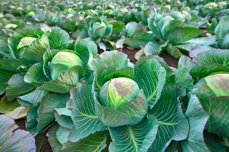 Late-season cabbage for canning in the autumn farmer's field.