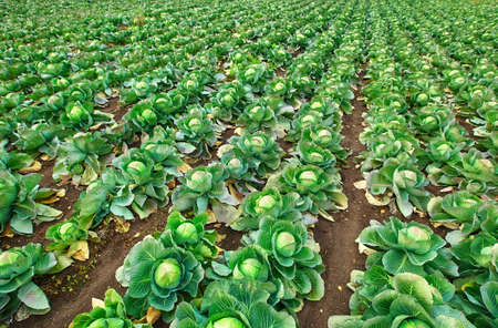 Fresh cabbage from a farmer's field. View of green cabbage plants.Non-toxic cabbage .Organic farming 版權商用圖片