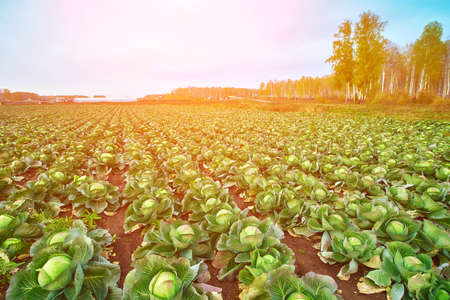 Fresh cabbage in the field waiting for the harvest. Organic vegetable background in an atmosphere of farm freshness. The concept of agriculture