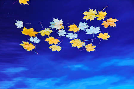 Fallen autumn yellow maple leaves on the surface of blue water. Space for your text. 版權商用圖片