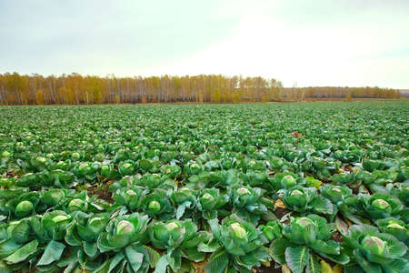 Green cabbage grows on collective farm fields in Russia.