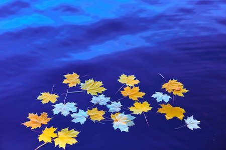 Fallen autumn yellow maple leaves on the surface of blue water. Space for your text. 免版税图像