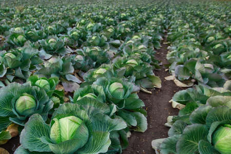 Rows of ripe green cabbage before harvesting in a farmer's field. 免版税图像