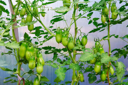 Clusters of green ripening tomatoes. Organic farming, growing young tomato plants in the greenhouse