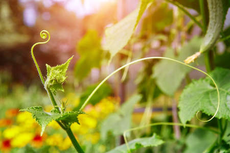 A close up of a tendril growing on a cucumber plant. The plants in the greenhouse non-GMO, vegetarian food.