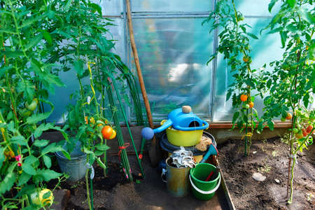 Growing tomatoes at home in a greenhouse, in the garden near the house. The concept of organic food, healthy food and favorite Hobbies