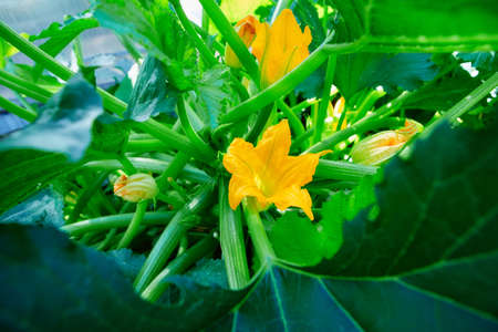 A beautiful yellow zucchini flower blooms in the garden. Courgette plant growing in the summer garden. 免版税图像