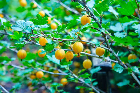 Yellow gooseberry berries on a Sunny day. The concept of organic vegetarian food