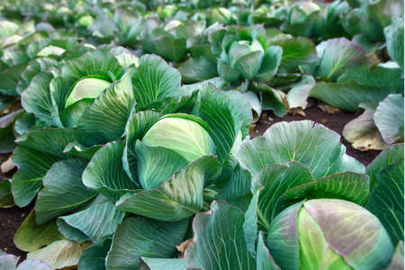 Fresh cabbage from a farmer's field. View of green cabbage plants.Non-toxic cabbage .Organic farming 免版税图像