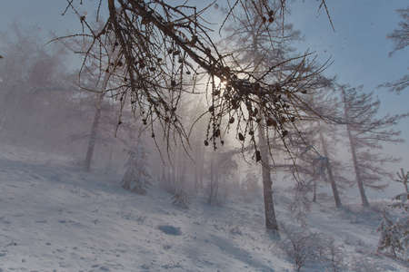 Snowstorm on the background of the forest in the mountains. Poor visibility and fog during a snowstorm