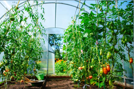 Growing tomatoes at home in a greenhouse, in the garden near the house. The concept of organic food, healthy food and favorite Hobbies. 免版税图像
