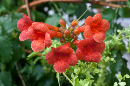 irritation: Campsis, trumpet creeper, trumpet vine cluster of flowers with water drops, selective focus