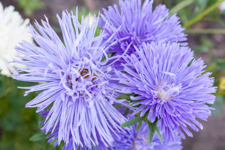 astringent: Autumn asters on the meadow close-up, selective focus